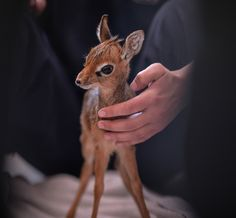 """Standing just 8"""" tall at the shoulders, this tiny orphaned Dik-dik is making a big impression at Chester Zoo.  See VIDEO and photos at ZooBorns.com and at http://www.zooborns.com/zooborns/2017/02/tiny-orphaned-dik-dik-hand-reared-at-chester-zoo.html"""