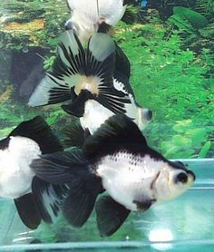 Panda moor goldfish - I want one of these when I get a bigger tank. B-Ray