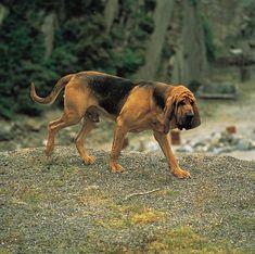 bloodhound | bloodhound puppies dog wallpaper picture bloodhound puppies dog ...