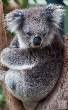 Koala at Healesville Sanctuary - one of many indigenous animals at the sanctuary in the Yarra Valley, Victoria, Australia