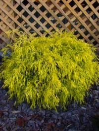 Gold Mop Cypress Evergreen shrub with bright gold thread-like foliage. It's two to three foot height and two to three foot width give it a nice mounded shape. Excellent color year round. Starting at $24 (2 gal.)