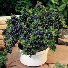 'Top Hat' blueberries!  Perfect to grow in a pot on your patio if you don't have a big garden space