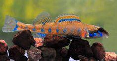 Splendid Darter : Splendid darter Fishes!! Pinterest