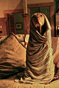 Looks like my Piper girl, but she wouldn't sit still long enough to be wrapped up! --->The Mona Vizsla. Still gets me, every time. Vizsla Puppies, Weimaraner, Beagle, Dogs And Puppies, Vizsla Dog, All Dogs, I Love Dogs, Best Dogs, Cute Dogs