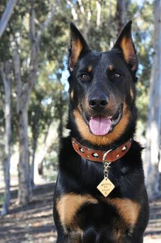 There are over 20 dog breeds that were developed in France, quite a big number. Doberman Dogs, Doberman Pinscher, Dobermans, Large Dog Breeds, Cute Dogs Breeds, Beautiful Dogs, Animals Beautiful, Beautiful Dog Breeds, Hound Dog Breeds