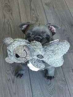 Good Morning Human ❤ French Bulldog Puppy♥