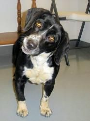 Marcus an adoptable Basset Hound Dog in Hartford, KY. Pet ID: 5597745-0453 Marcus was brought in as a stray.He is a friendly boy and likes being with people. 4-years-old.Ohio County Animal Shelter, Hartford, KY  270-298-4499