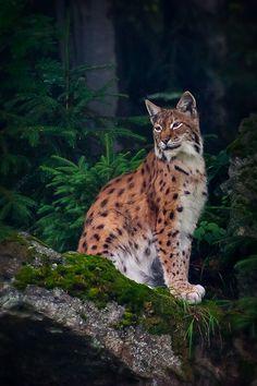 Photograph Lynx (2) by László Oláh on 500px