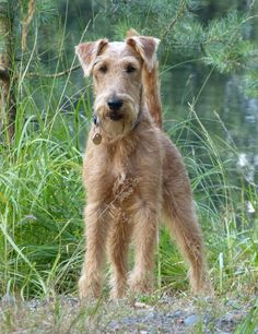 Irish Terrier Gianni in the Saxonian Forest