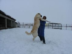 the Kangal Dog