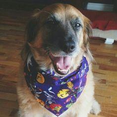 Benson wearing his 'Spooky Dude' dog bandana by Dudiedog Bandanas