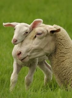Mom and lamb - so much love. VEGAN on Mother's Day and everyday. Alpacas, Beautiful Creatures, Animals Beautiful, Farm Animals, Cute Animals, Sheep And Lamb, Baby Sheep, Pet Sheep, Tier Fotos