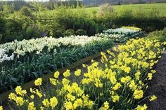 Sarah Raven explains how she plants narcissi bulbs in beds, grass and pots. Includes instructions for forcing indoor narcissi.