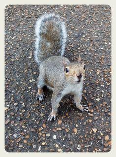 A Regent's Park squirrel.