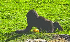 Ebo, el bebé gorila, cumple 8 meses | Ebo, the baby gorilla, meets 8 months | www.bioparcvalencia.es