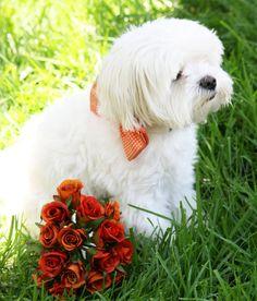 #Orange #wedding #dog #collar #Dog #BowTie with high by LADogStore, $27.50