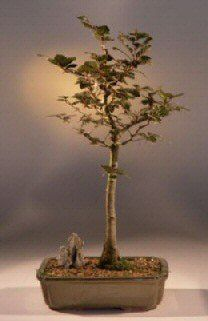 Copper Beech Bonsai Tree fagus sylvatica purpurea ** You can find more details by visiting the image link.