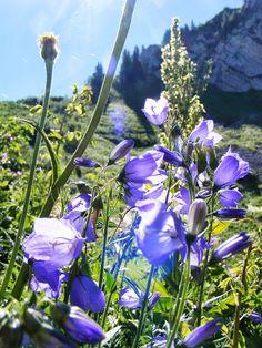 Fleurs de haute savoie