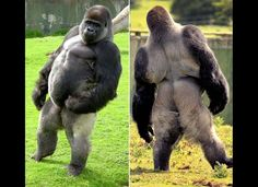 Ambam, a silverback gorilla at the Port Lympne  Animal Park in Kent, England, shows off the stance that's turned him into a viral video sensation. Ambam doesn't do the typical ape walk -- he stands and struts like a person.