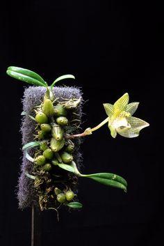 Bulbophyllum transarisanense