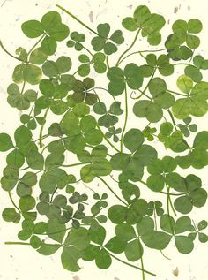 "[Sing along with me: ""I'm looking over a (gross of) four-leafed clover.""] In reality, this is ""Four-Leaf Clover wall art"" and the click-through has about a dozen photos and how-to's if you happen to have a surplus of them hanging around. Four Leaves, All Nature, Happy St Patricks Day, Four Leaf Clover, Ikebana, Shades Of Green, My Favorite Color, Plant Leaves, Pictures"