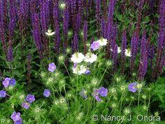 Geranium 'Gerwat' (Rozanne) Salvia 'Caradonna'  Nigella damascena 'Cramer's Plum'