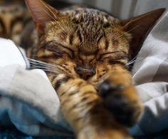 """aosorafuu.888: """"Don't Disturb! I'm Sleeping Now Bengal cat Riku-chan  夜の運動会に備え睡眠中のりくちゃん誰もが人生の中で心の強さが試される危機に遭遇することがありますそれが何であれうまく乗り越えたいと思うなら気持ちを強く持ち物事を新しい視点から見ながら断固たる行動をとらなくてはなりませんそれは簡単なことに思いますが実際には簡単ではないのです殻を破って新しい方向を目指す能力は根性と大胆さそして勇気を余分に必要とし本当に心が強い人のみがもっています頑強な壁しか見えないような状況でも心が強い人には乗り越えるべき課題が見えるのです精神的に強くなるために心を鍛えるそれは誰もが今からチャレンジすることができるのですむにゃむにゃ  #bengal #cat #cat_of_instagram #catoftheday #catsofinstagram #catofinstagram #INSTACAT_MEOWS #thecatawards #Excellent_Cats #Excellent_Kittens…"""