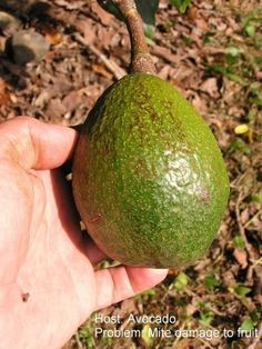 Avocados are tasty additions to the garden, but there are pests and diseases you should be aware of before planting. Read this article to learn what to do about these problems before your crop is affected. Tropical Landscaping, Tropical Garden, How To Ripen Avocados, Tree Story, Avocado Tree, Garden Guide, Garden Ideas, Different Plants, Natural Garden