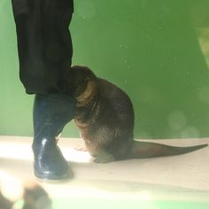 Otter looks for a fishy treat in the keeper's boot - April 29, 2013