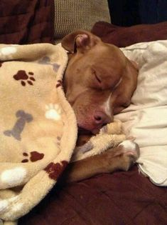 all tucked in <3 #pitbull