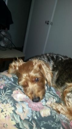 Can I sleep?  #rocky #yorkie #mylovefordogs #nokidsjustadog #myheartisyours #lickmyface #mylove