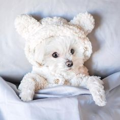 kinda mood 🐶 Its gross + rainy in NYC which makes for the perfect afternoon nap weather (not that we need an excuse 😌). Now if only made matching human pjs so I could be as cozy as 🤗 Maltese Poodle, Maltese Mix, Cute Dog Pictures, Dog Photos, Cool Pets, Cute Dogs, Teacup Puppies, Teacup Maltese, Dog Modeling