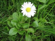 jadalne zioła | Niezłe Ziółko Bellis Perennis, Flowers, Plants, Education, Diet, Florals, Plant, Teaching, Training