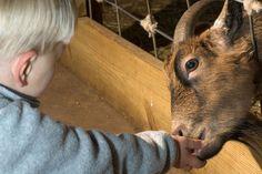 Itinéraire d'une ferme découverte, un élevage traditionnel de chèvres alpines et les secrets de la fabrication des fromages. Ferme les Jassines - Moydans 04 92 50 89 20