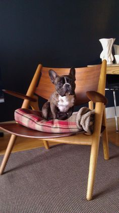 French Bulldog in an awesome midcentury modern chair - I want both!
