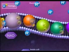 Electron Transport Chain - YouTube