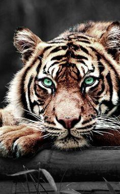 Tigre aux yeux émeraudes