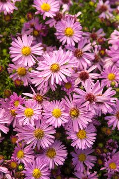 Monrovia's Wood's Pink New York Aster details and information. Learn more about Monrovia plants and best practices for best possible plant performance. Balcony Plants, Outdoor Plants, Garden Plants, Monrovia Plants, Best Perennials, Plant Catalogs, Flower Fairies, Landscaping Plants, All Plants