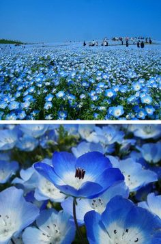 Hitachi Park is located in the Ibaraki Prefecture on Honsyu in Japan. Each year these blossoming blue fields attract thousands of tourists. Its a beautiful spectacle during the flowering of the nemophila. A blue heaven on Earth.