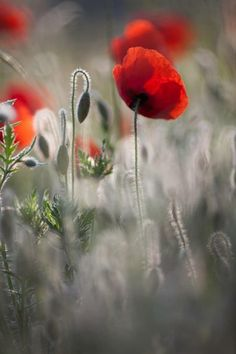 blooms-and-shrooms: Les coquelicots by Beautiful Nature Pictures, Pretty Pictures, Amazing Flowers, Love Flowers, Poppy Flowers, Flora Garden, Raindrops And Roses, Wild Poppies, Lavender Bouquet