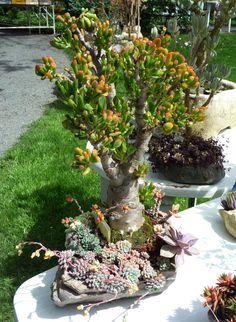 Aeonium, Crassula Ovata, Succulent Pots, Succulents Garden, Jade Tree, Cactus, Plantas Bonsai, Jade Plants, Succulents In Containers