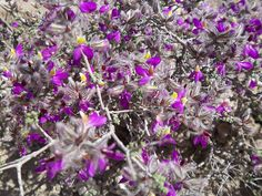 The High Desert Arizona Purple Flowers by griffithchris, via Flickr