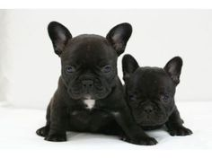 The Adaptable Frenchie Dog Size French Bulldog Breed, Black French Bulldogs, French Bulldog Facts, Super Furry Animals, Cute Animals, French Bulldog Personality, Every Dog Breed, My Animal, Dog Love