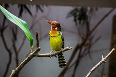 Red and Yellow Barbet | 22 Colorful Animals Who Look Too Beautiful To Be Real
