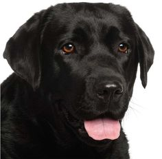 14 Best Black Labrador Greeting Cards Images