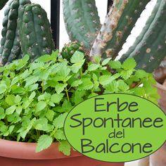 Non devi avere una terra grande per raccogliere piante selvatiche se hai piante infestate dall'ortica sul balcone! Una guida breve su come mangiare erbacce.