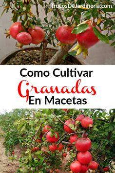 Cultivar Granadas En Macetas Veg Garden, Bonsai, Compost, Container Gardening, Planting Flowers, Fruit, Vegetables, Ideas Para, Diy Ideas