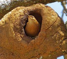 Foto joão-de-barro (Furnarius rufus) por Jose Quintino | Wiki Aves - A Enciclopédia das Aves do Brasil