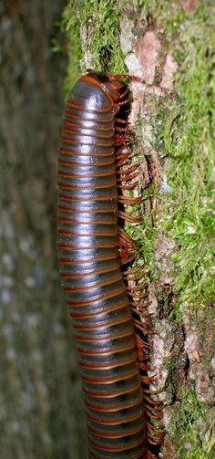 Learn about North American Millipedes including how to identify them by appearance, habitat and diet, as well as control options suitable for North American Millipedes. Millipedes, Insect Species, Habitats, Bugs, Facts, Tattoo, American, Beetles, Tattoos