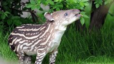 Baby tapir Parima enjoys some leaves during her first outing at her open-air enclosure at the Tierpark Hagenbeck Zoo in Hamburg, northern Germany, on May 15, 2012. (Daniel Reinhardt/AFP/Getty Images)